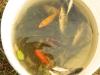 6 carpe-di-piccola-taglia-con-pesci-rossi